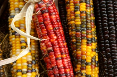 Ears of Indian corn.
