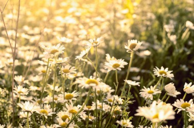 A field of marguerites also known as Paris daisies.