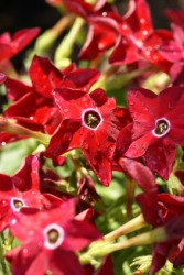 Red nicotiana flowers.