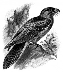 An engraving of the guacharo or oilbird.