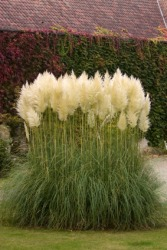 A clump of pampas grass.