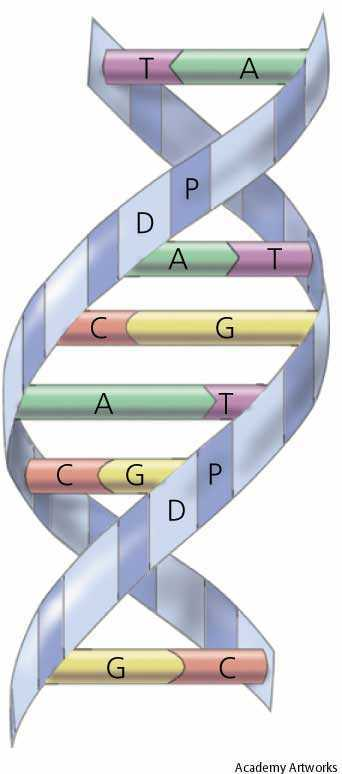 Dna Molecule Double Helix. double-helix DNA model