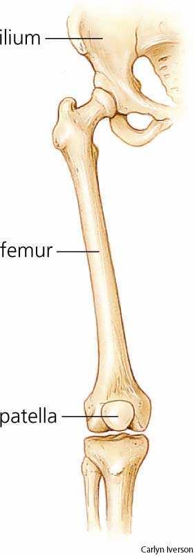 rodney hively: femur, Human Body