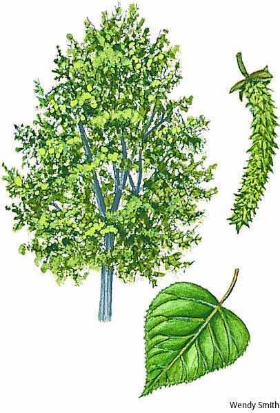 poplar - Images