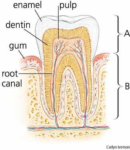 tooth - Images