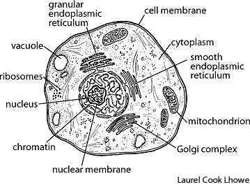 Cell | Easy to understand definition of cell by Your Dictionary