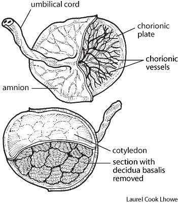 Pathology Outlines - Normal anatomy