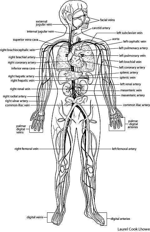 For veins and arteries that occur on both sides of the body,