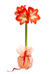 A bouquet of amaryllis.