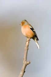 A male chaffinch on a twig.