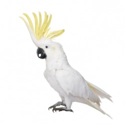 A yellow crested cockatoo.